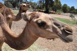 Camels having fun
