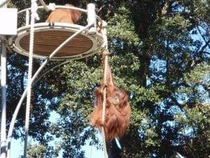Orangutans at Perth Zoo