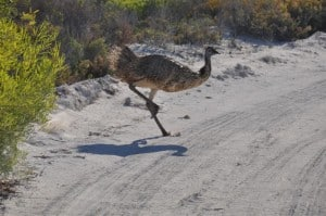An emu near Lancelin