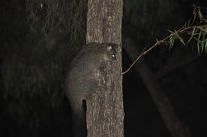 The local possum at Alexandra Bridge 300x199 Alexandra Bridge