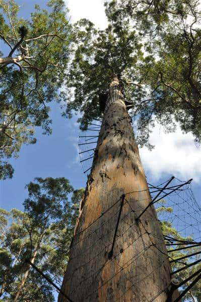 Pemberton has plenty of incredible Karri Trees