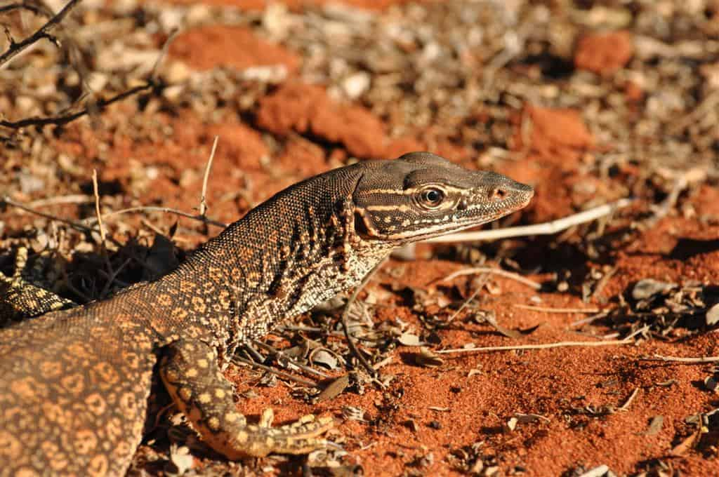 The lizards up north are awesome