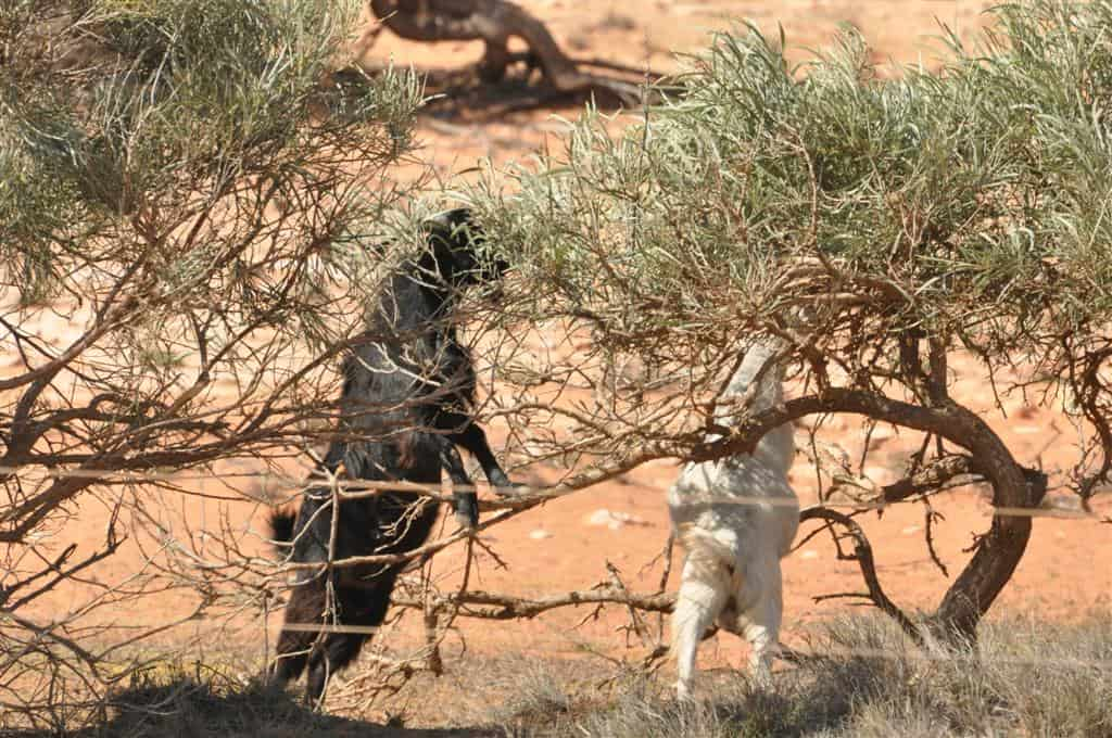 Wild goats at Gnaraloo