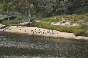 Moore River birds