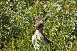 Friendly local kangaroos at stokes national park