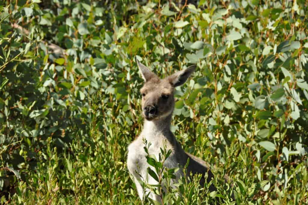 Friendly local kangaroos at stokes national park