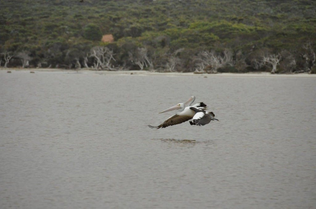 Pelicans at Bremer Bay