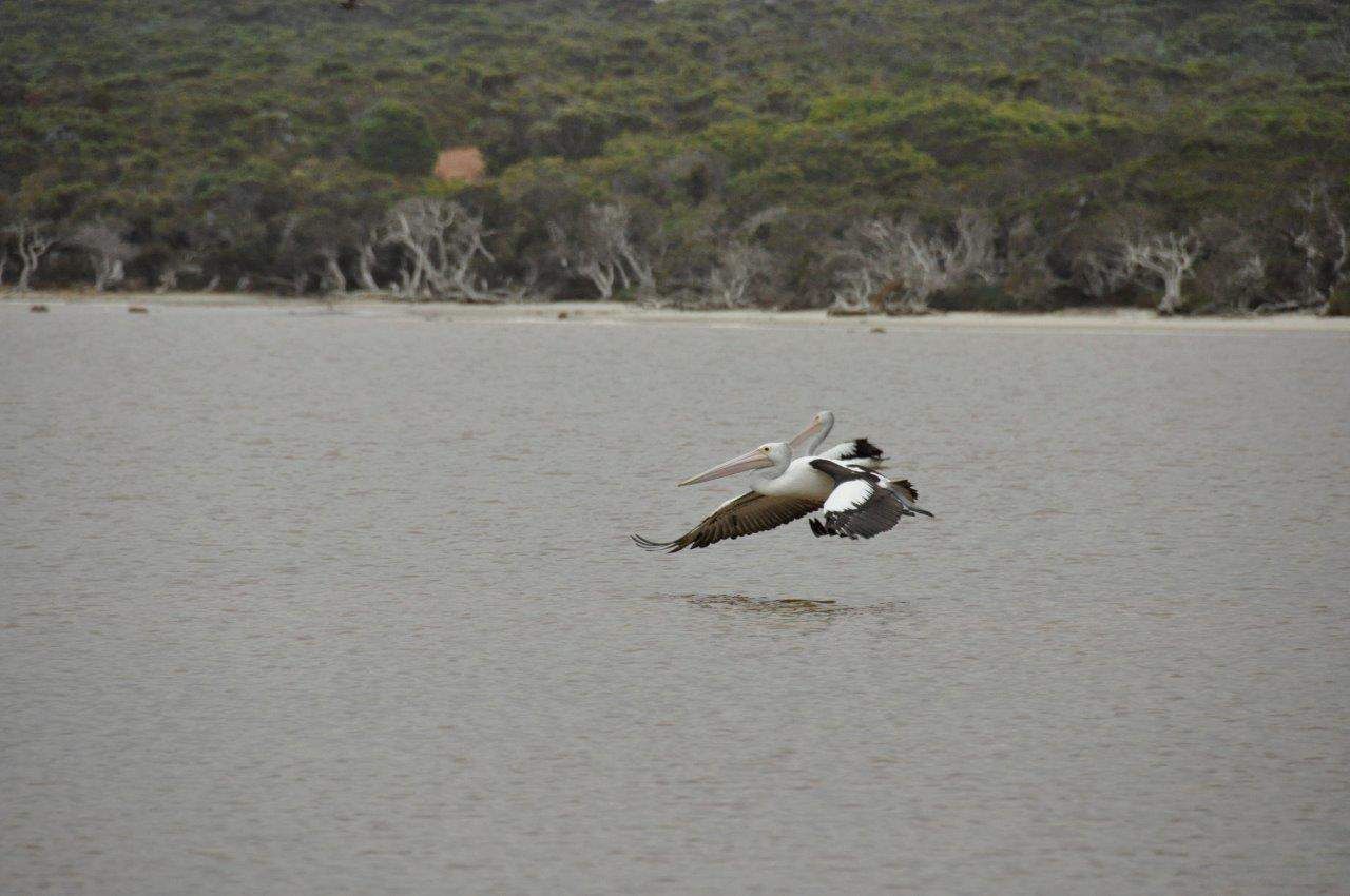 Bremer bay pelicans 1 for Fish cleaning station near me