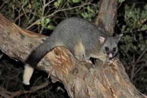 Albany Possums