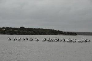 Bremer Bay Pelican population