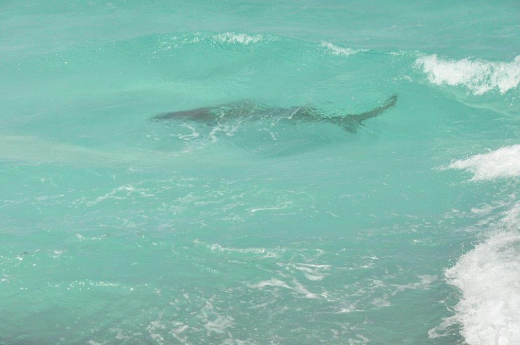 A shark at Thomas River Esperance