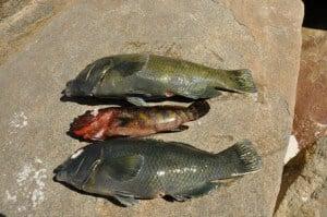Spearfishing at Thomas River