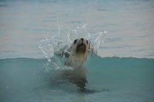 Seal interaction at Esperance