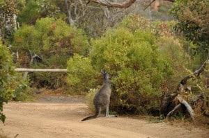 Albany Kangaroos