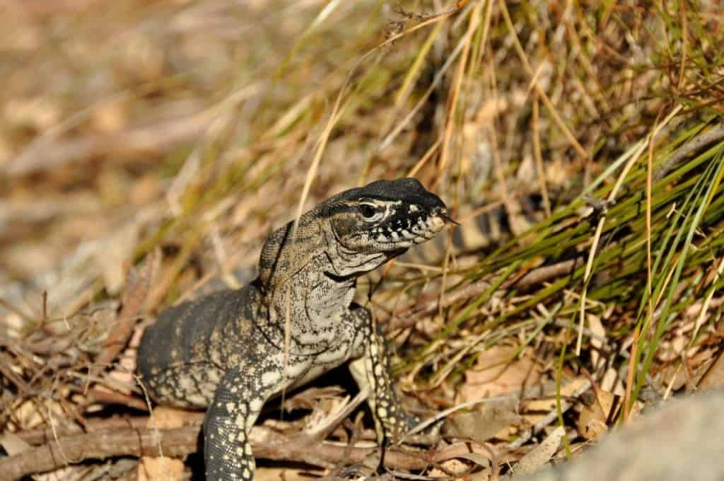 Goanna neighbour at Albany
