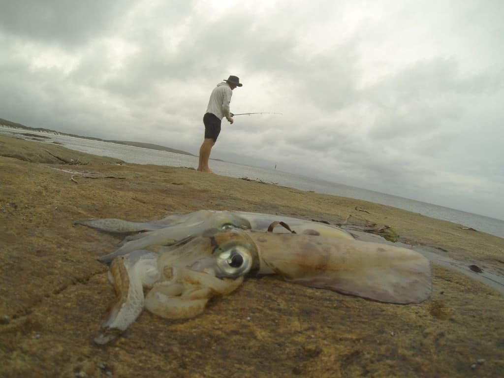 Squid at Bremer Bay