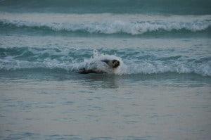 Surfing seal at Esperance