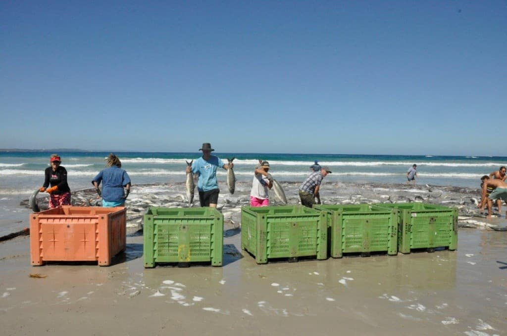 Salmon sorting at Parry Beach