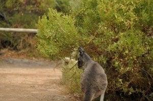 Point Riche Kangaroos