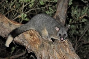 Possum at Albany
