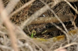 Snake at Waychinicup