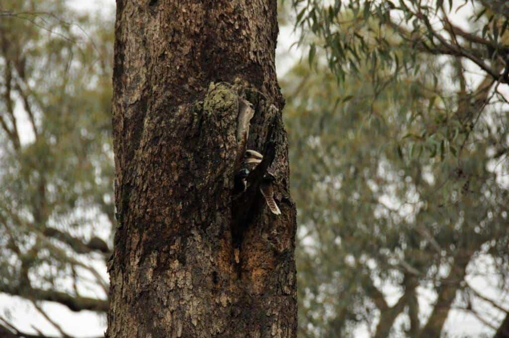 Kookaburra nest
