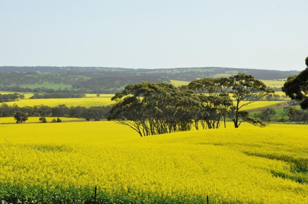 Mogumber Canola crop