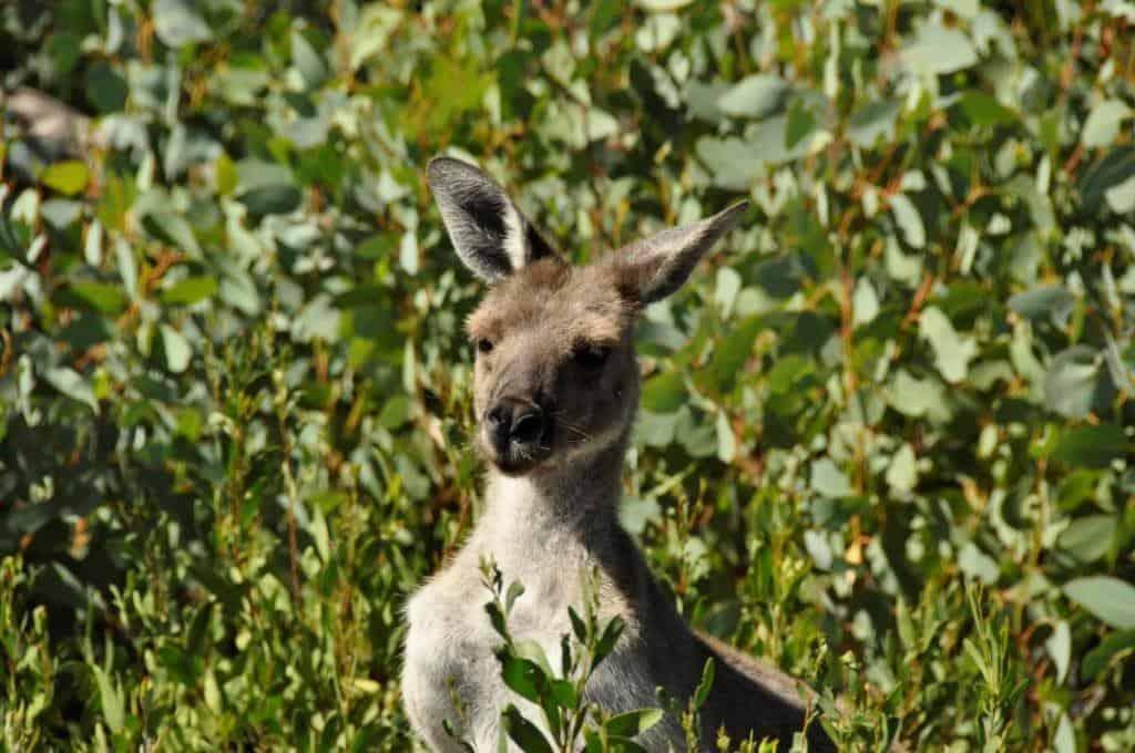The aussie kangaroo