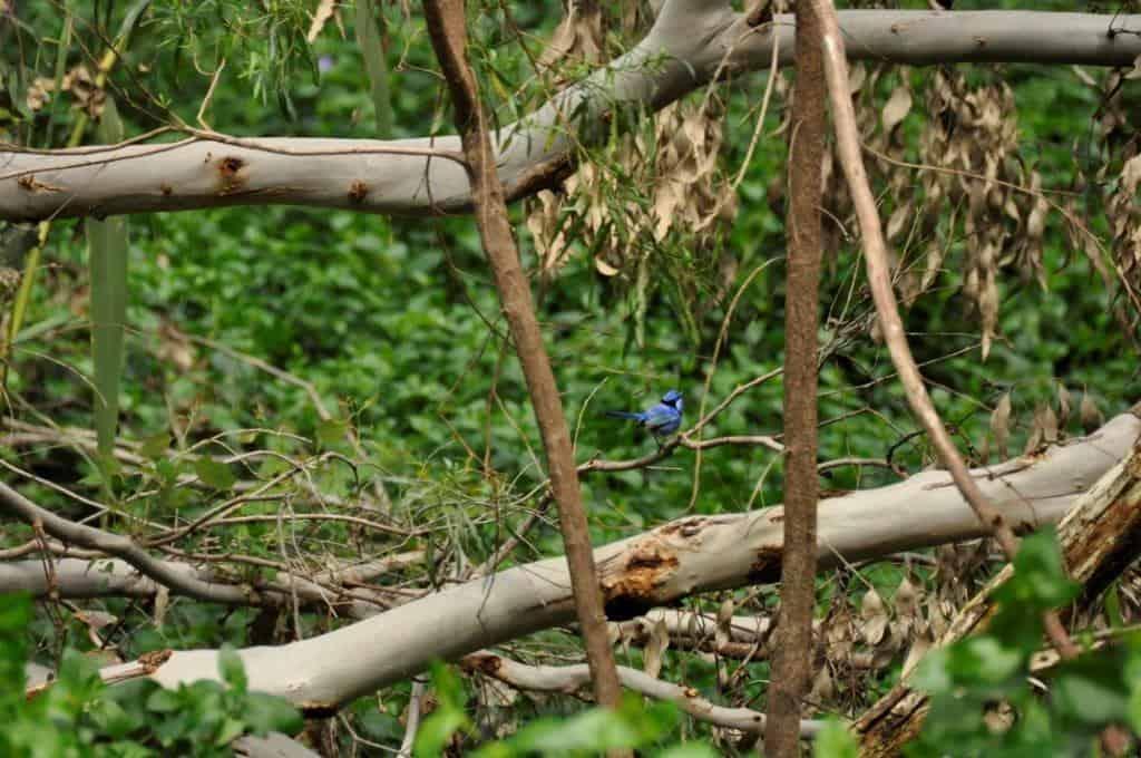 The ellusive blue wren