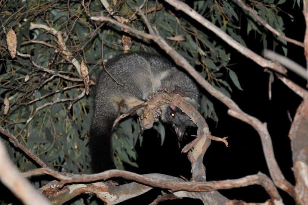 Possums at Albany