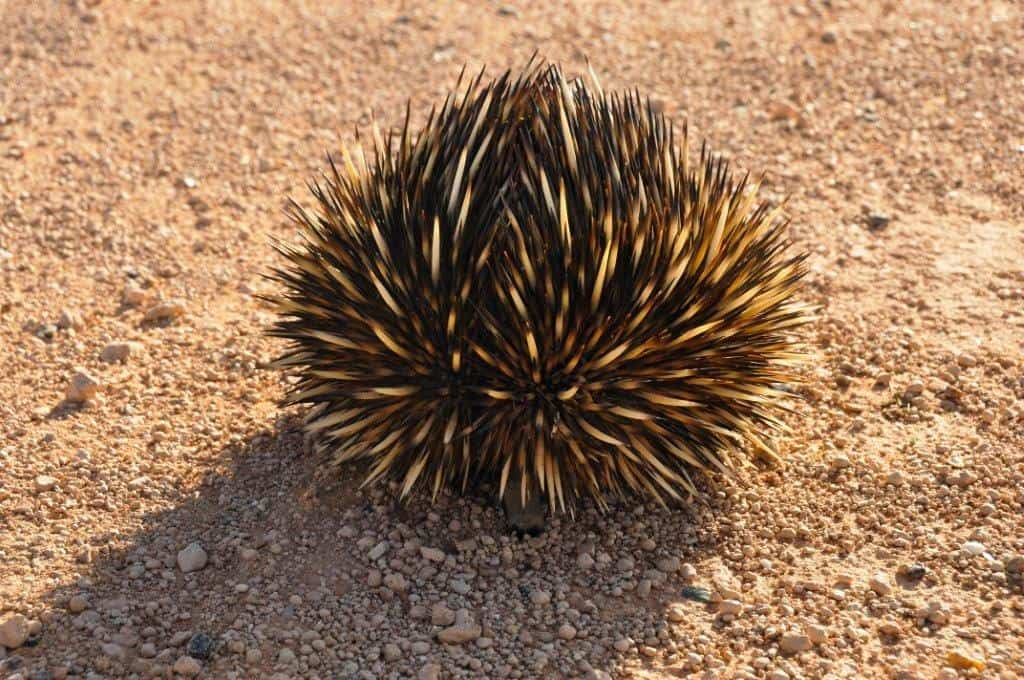 An echidna on the way to Francios Peron