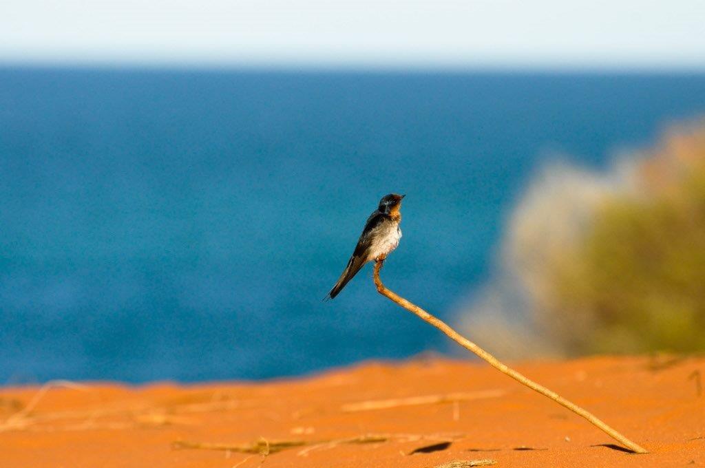 Bird at Cape Peron