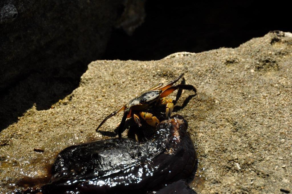 Crabs at Lucky Bay