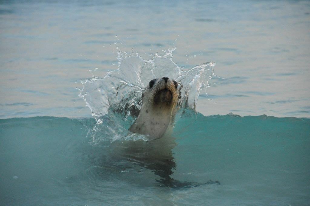 Hungry seal at Esperance