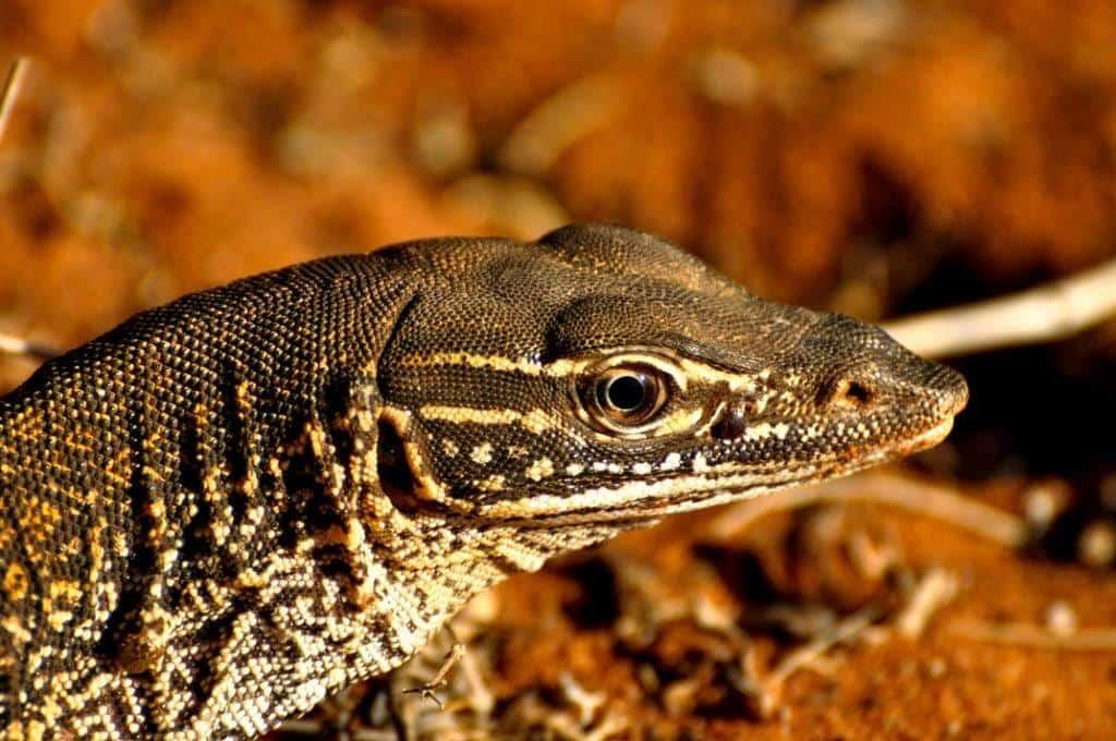 Lizard at Francios Peron