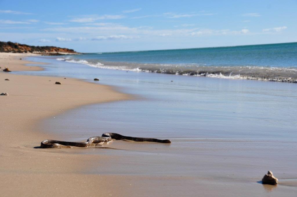 Sea snake at Shark Bay