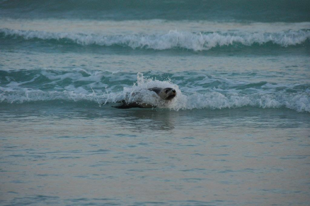 Surfing seal at Thomas River