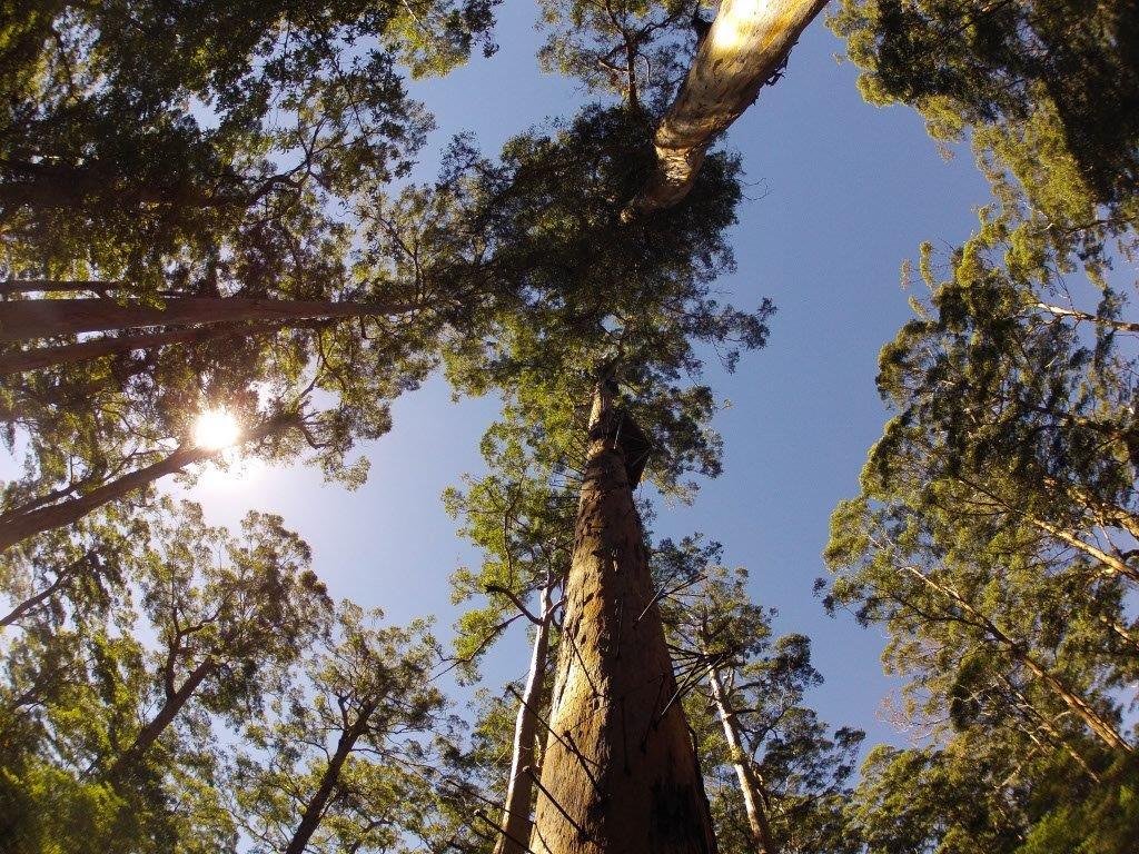 Yeagarup tree climb
