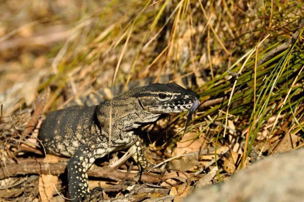 Albany lizard