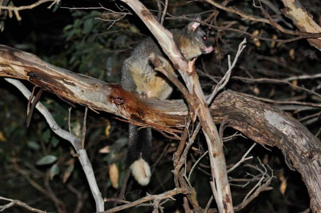 Friendly Possums
