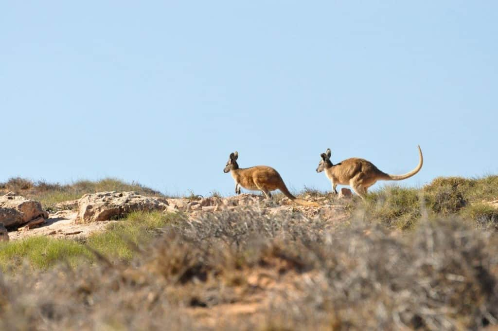 Kangaroos at Gnaraloo Station