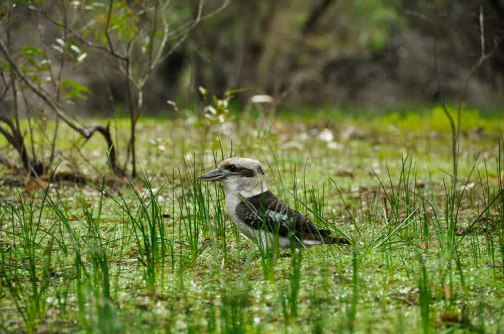 Kookaburra at Belvidere