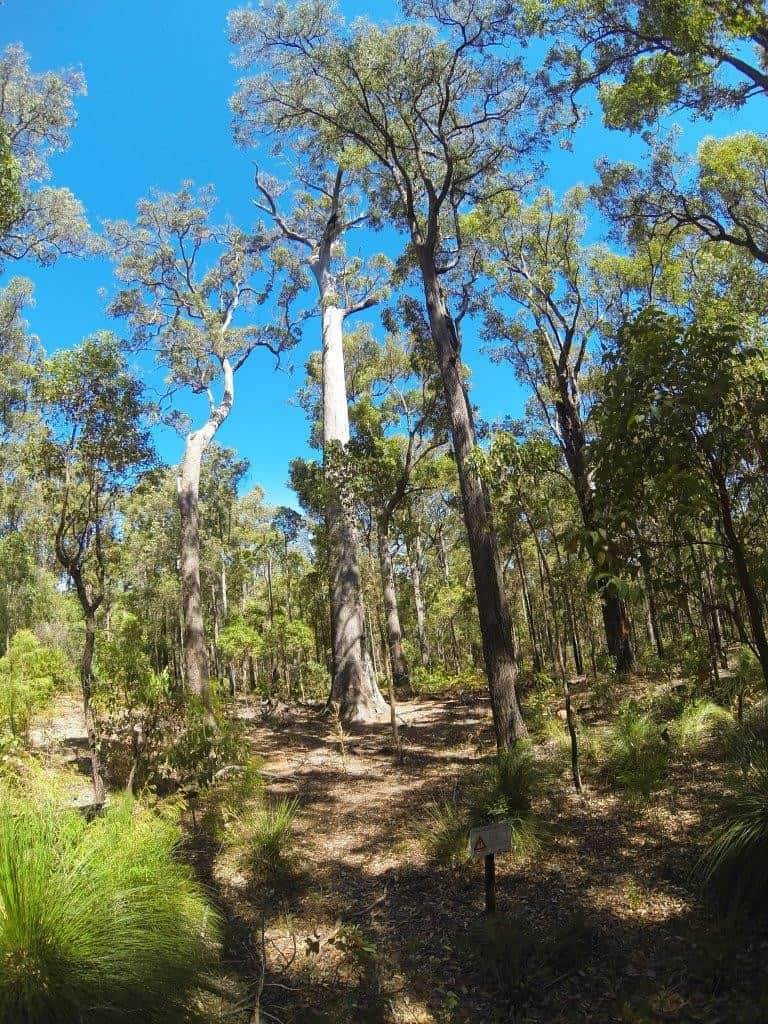 Jarrah Tree at Wellington Dam