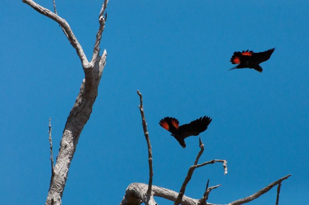 Amazing coloured Cockatoos