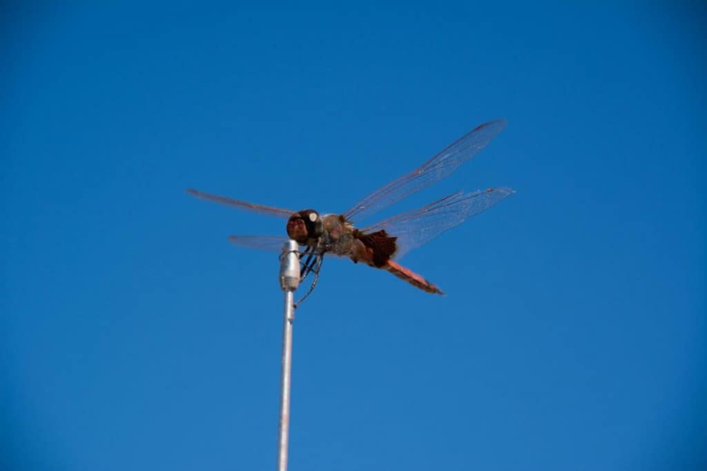 Another dragon fly
