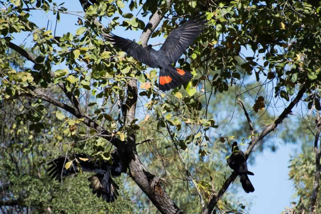Black and red cockatoos at Mornington