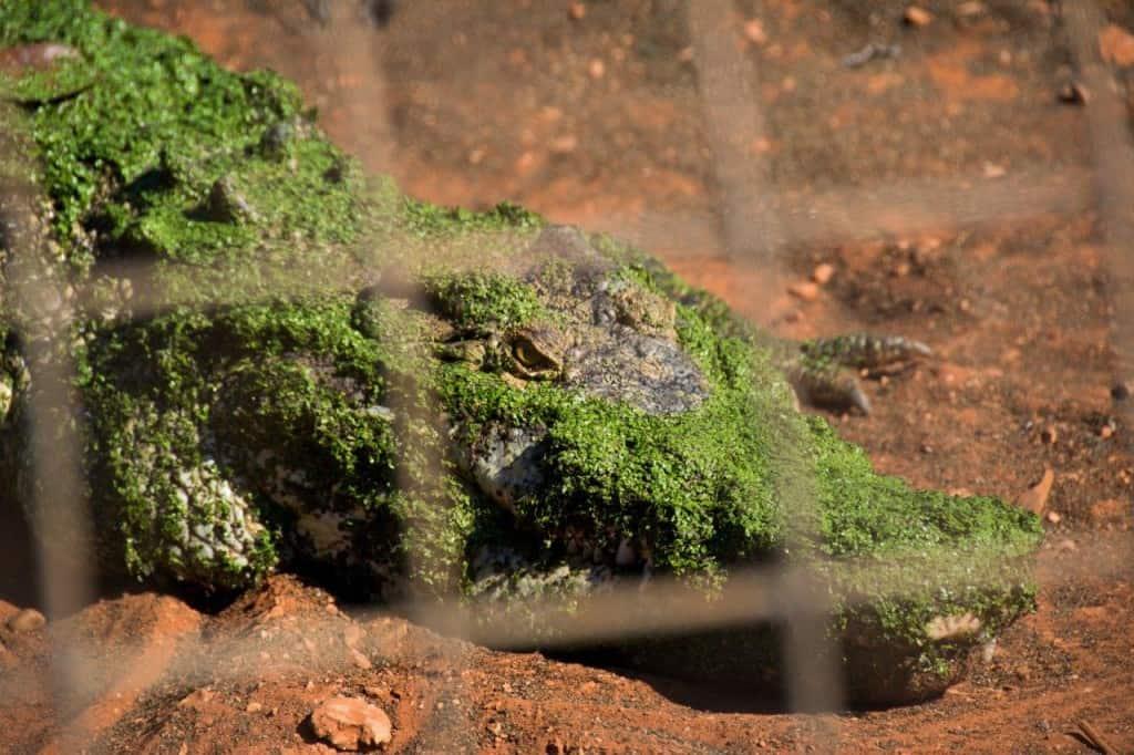 Broome Crocodiles
