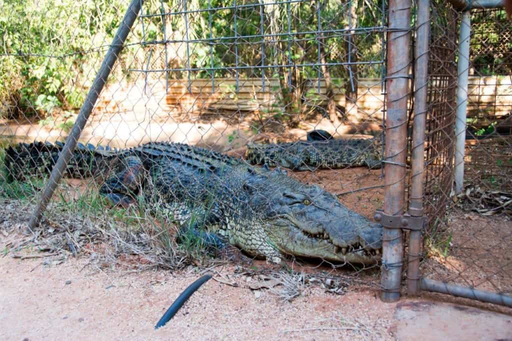 Broome Giant Crocodile