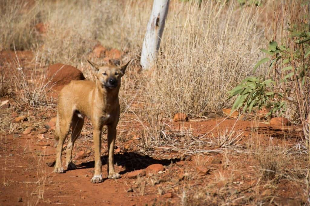 First dingo at Mornington