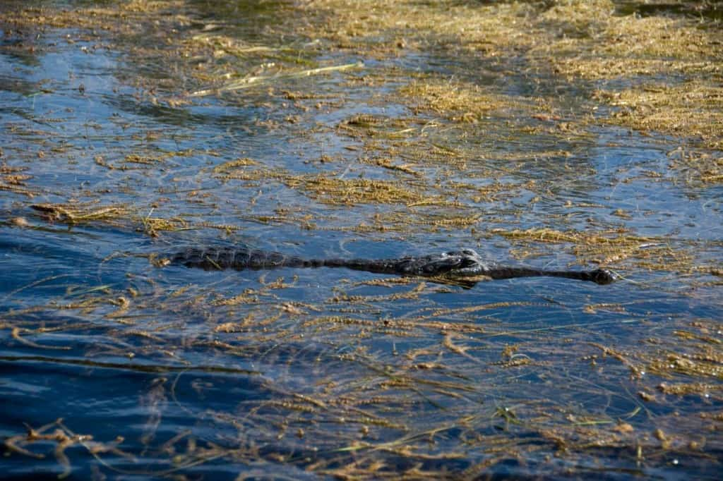 Freshwater crocodile Lake Argyle